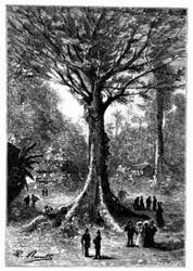 Der »Sumaumeira«, jener Riese des Pflanzenreiches. (S. 197.)