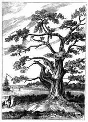 Baum, unter dem Cook den Venus-Durchgang beobachtete. [Facsimile. Alter Kupferstich.]