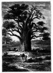 Der Baobab. (S. 405.)